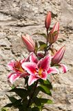 Lily in front of Stone Wall. Pink and white Lily in front of a stone wall, potrait orientation Royalty Free Stock Photo
