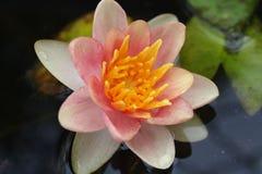 Lily Full Bloom rosada Fotografía de archivo libre de regalías