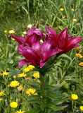 Lily garden. Red against a green grass Royalty Free Stock Photography