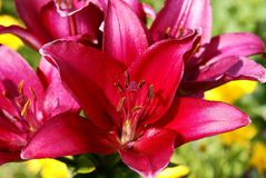 Lily garden. Red against a green grass Royalty Free Stock Image