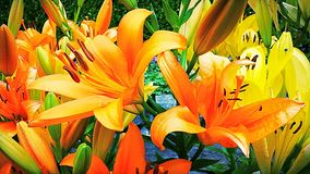 Lily Garden Image stock