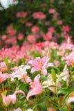 Lily garden festival Stock Photos