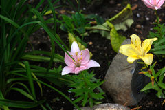 Lily. Garden flower. Royalty Free Stock Photos