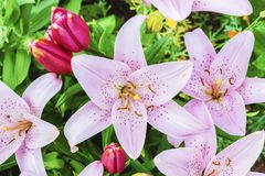Lily in the garden. Lilies close up.  royalty free stock images