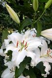 Lily in garden. Nice flower blooming in the garden in mid spring. Image enchanting beauty of nature stock photo
