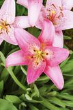 Lily in the garden. Pink lilies close-up.  royalty free stock image
