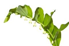 Lily Garden Solomons skyddsremsa, Polygonatum, isolat Arkivbild