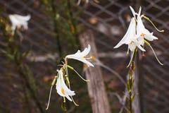 Lily in garden Stock Photos