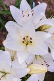 Lily in the garden. White lilies close-up.  stock images