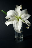 Lily in a glass Royalty Free Stock Image