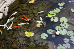 Lily, gold fish in a man made pond. Royalty Free Stock Photo