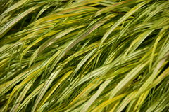 Lily or grass leaves Stock Photo