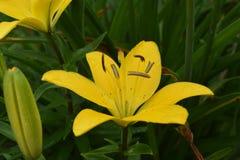 Lily Growing amarilla magnífica en de la naturaleza cierre para arriba foto de archivo