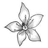 Lily Hand drawn Stock Photography