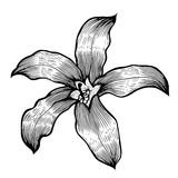 Lily Hand drawn Royalty Free Stock Photography