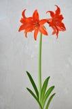 Lily (Hippeastrum-Amaryllidaceae stock photo