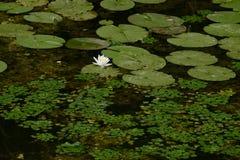 lily i ja zdjęcia wody malować akwarele białe Obrazy Stock