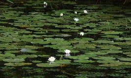 lily i ja zdjęcia wody malować akwarele białe Zdjęcie Royalty Free