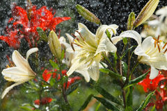 Free Lily In The Rain Stock Photography - 15199632