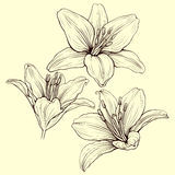 Lily ink Royalty Free Stock Images