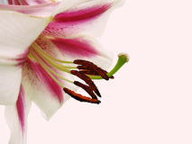 Lily isolated Royalty Free Stock Photography