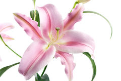 Lily isolated Stock Images