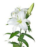 Lily isolated. [with clipping path royalty free stock photos