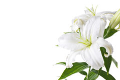Lily isolated Stock Photography