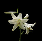 Lily isolated over black background Royalty Free Stock Image