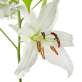 Lily isolated white. Lily flower color image isolated on a white background Royalty Free Stock Images