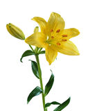 Lily isolated on white Royalty Free Stock Photography