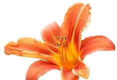Lily isolated on the white background Royalty Free Stock Images