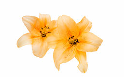 Lily isolated royalty free stock image