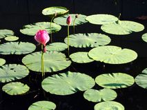 lily jest dość wody, obraz royalty free