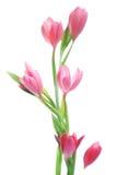 lily kaffir Fotografia Stock