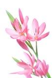 lily kaffir Fotografia Royalty Free