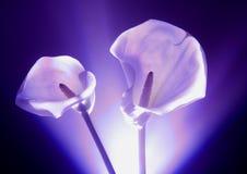 lily kalii Obraz Stock