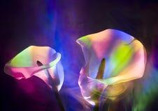 lily kalii Obrazy Stock