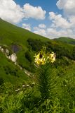 Lily Kesselring (Lilium kesselringianum) is in the mountains Stock Image