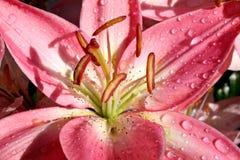 lily kropla deszczu Obraz Stock