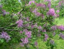 Lily krzak w ogródzie w wiośnie Zdjęcia Stock