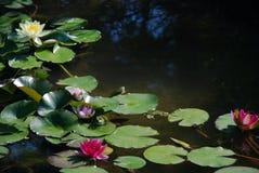 lily księcia Zdjęcia Stock