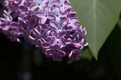 Lily kwiat fotografia royalty free