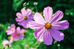 Lily kwiat Zdjęcie Royalty Free