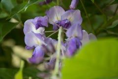 Lily kwiat i zieleń liść obrazy royalty free