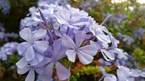 Lily kwiat podczas wiosny Obrazy Royalty Free