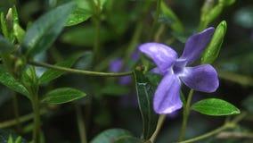 Lily kwiat z kroplami deszcz zbiory wideo