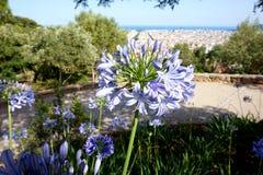 Lily kwiatu agapanthus praecox przeciw tłu panorama Barcelona Obraz Royalty Free