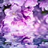 Lily kwiatu okwitnięcia tło Obraz Stock