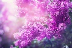Lily kwiecisty kwitnąć Obrazy Royalty Free